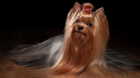 yorkie breeders for yorkies alyssiarose november 2014 yorkie haircuts 100 terrier