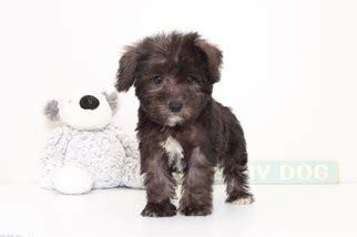 schnoodle puppies florida view ad schnoodle miniature puppy for sale florida