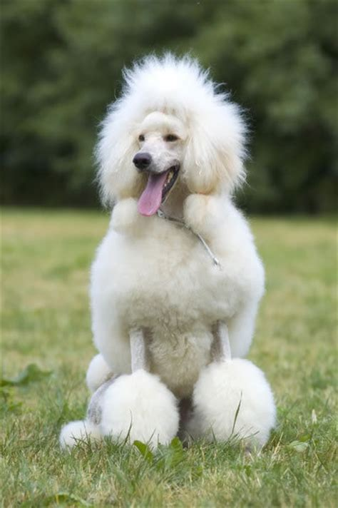 are poodles dogs poodle pictures dogs breeds and puppies reviews