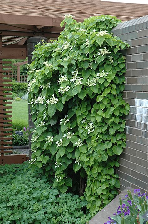 asian climbing plant japanese hydrangea vine schizophragma hydrangeoides in