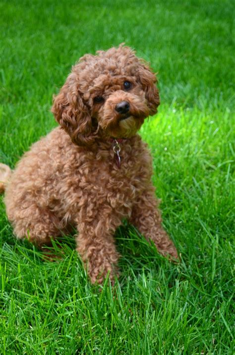 Pictures Of Miniature Labradoodle 8 Breeds Picture