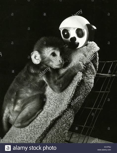 Harlow S Contact Comfort by An Infant Rhesus Monkey Macaca Mulatta With Its Cloth