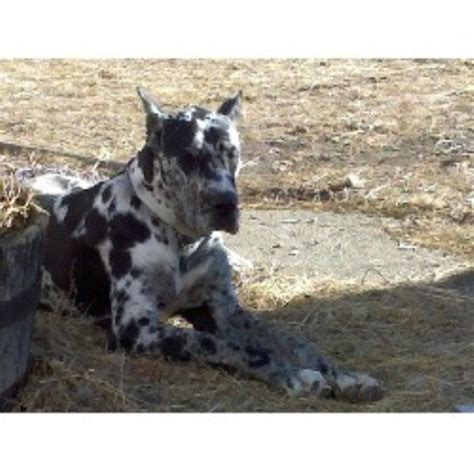 great dane puppies mn great dane breeders in minnesota freedoglistings