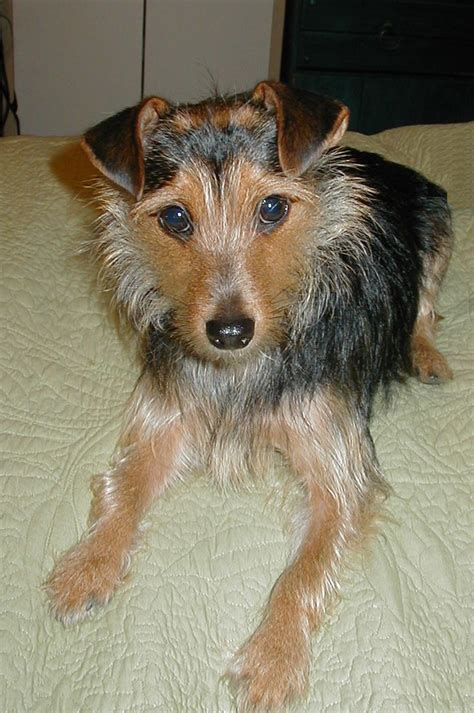 yorkie and terrier mix terrier rat terrier mix allmutt