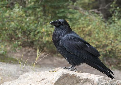 ravens found able to remember people who tricked them up