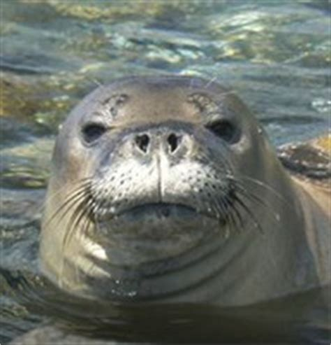 euthanize aggressive feds plan to euthanize aggressive monk seals kahea