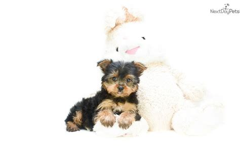 teacup yorkies for sale in columbus ohio 1000 images about tiny yorkie puppies for sale on yorkie puppies for