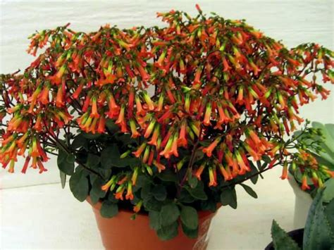 Plant Chandelier Kalanchoe Manginii Chandelier Plant World Of Succulents