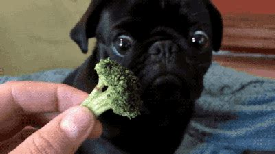 dogs eat broccoli 13 adorable gifs of puppies food