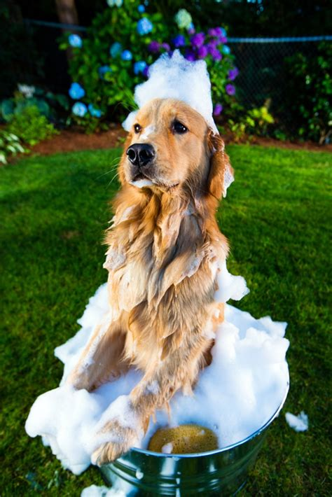 how to bathe a golden retriever golden retriever grooming tips the golden retriever network
