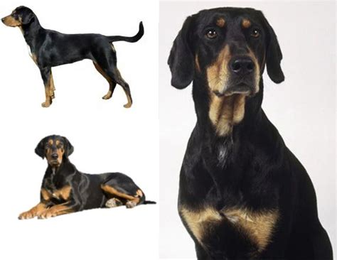 hound dogs breeds transylvanian hound breed world breeds