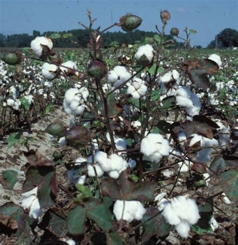 new year cotton flower the gmo poisoning of us doowans news events