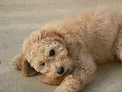 goldendoodle puppy tips golden doodles picture