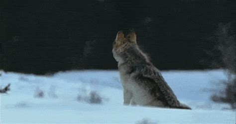 howling wolf gif
