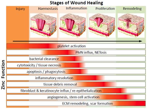 7 Remedies To Help A Wound Heal Quicker by Nutrients Free Text Zinc In Wound Healing