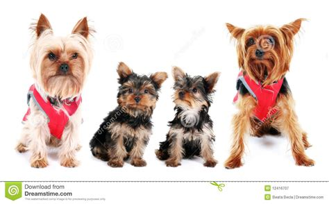 family yorkies terrier family stock image image of 12416707