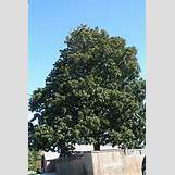 Eastern Redbud Leaves | 2336 x 3504 jpeg 5324kB