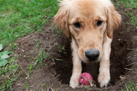Why Do Dogs Dig In The by Why Does Dig