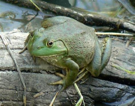 how did a frog get in my bathroom bullfrog rana catesbeiana animals a z animals