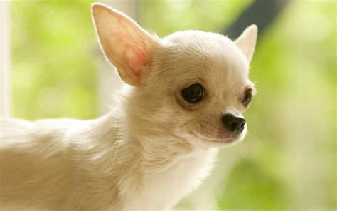 white chihuahua puppies chihuahuas white www pixshark images galleries with a bite
