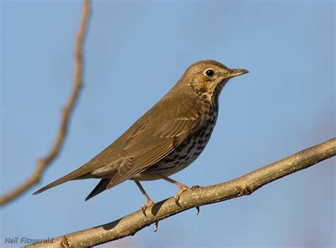 song thrush new zealand birds online