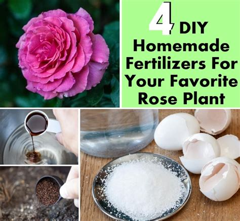 homemade rose food 4 diy homemade fertilizers for your favorite rose plant