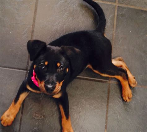 rottweiler puppies 5 weeks rottweiler puppy almost 11 weeks mansfield nottinghamshire pets4homes