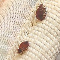 things bed bugs hate home beds and bed bugs on pinterest