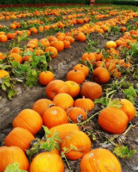 pumpkin patches pumpkin patch by carol groenen