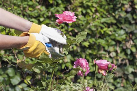 basics    prune finicky roses