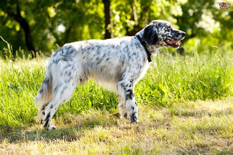An introduction to the Setter dog breeds   Pets4Homes