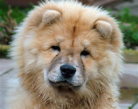 pomeranian chow mix puppies pomeranian chow mix puppies quotes