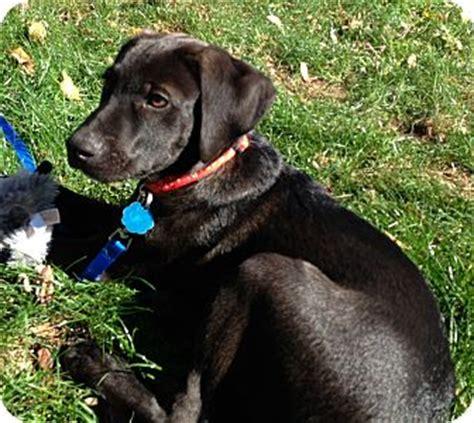 german shorthaired lab puppies jake adopted puppy westport ct labrador retriever german shorthaired pointer mix