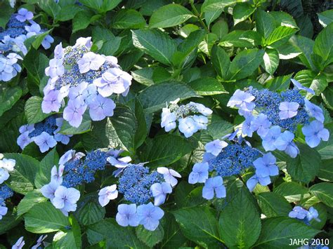Hydrangea Planter by Hydrangea Macrophylla F Normalis Name That Plant