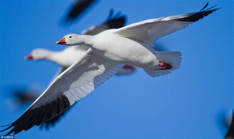 on the wing travels with the songbird migration of books photos of 1 3m geese taking on their