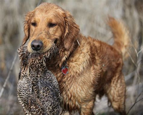 golden retriever best best pet golden retriever retrieving wildfowl at the hunt 1280x1024 wallpaper 4