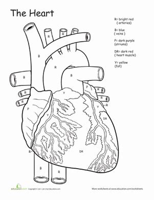 anatomy coloring book blood awesome anatomy if i only had a worksheet
