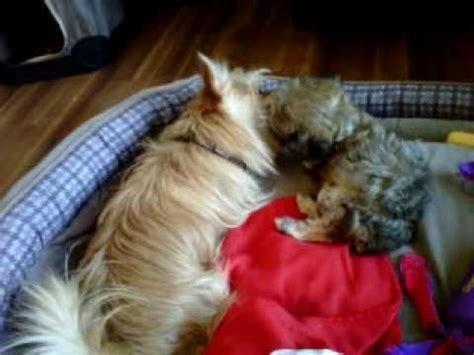 yorkie vs morkie puppy battle royale morkie vs yorkie pom