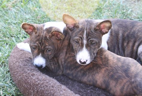 basenji puppy cost how much do puppies cost breeds picture