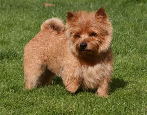 Norwich Terrier Shedding by Practical Jokes Norwich Terrier Our Dogs The Boys