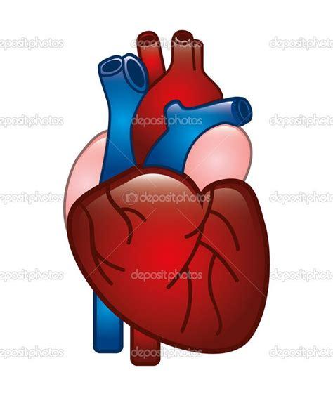 imagenes de corazones del cuerpo humano corazon real humano www imgkid com the image kid has it