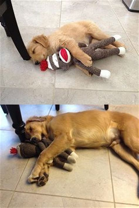 golden retriever puppy sleeping habits golden retriever before and after goldies