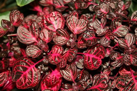 Pianta Foglie Rosse by Arbusti Eccone Alcuni A Foglie Rosse Per Giardini E Siepi