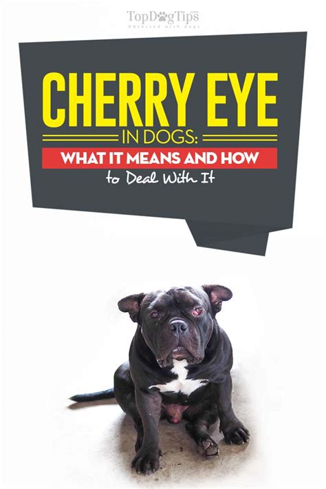 cherry eye in cherry eye in dogs what it means and how to deal with it