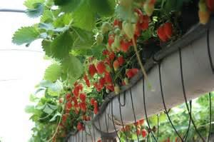 fraisiers tous les messages sur fraisiers potager