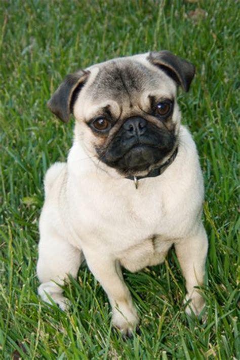 why do pugs flat noses pugs sneezing pets