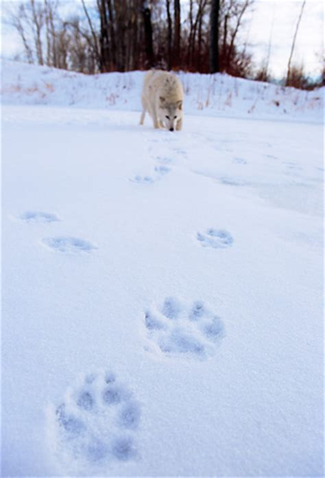 snowy paws golden retrievers wolf animal stock photos kimballstock
