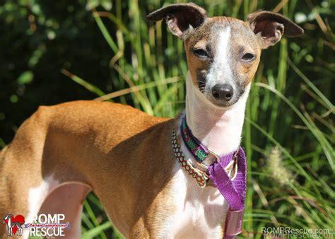 greyhound rescue wisconsin italian greyhound rescue romp italian greyhound rescue chicagoromp
