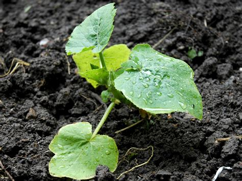 Pumpkin Seed Planter by Pumpkin Facts Health Benefits And Nutritional Value