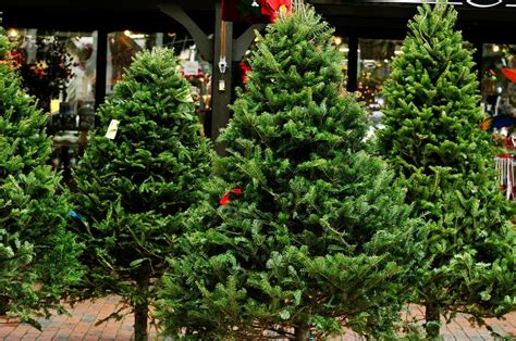 best christmas tree species learn more about tree varieties